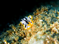 Flatworm on sand, Dumaguete, Philippines